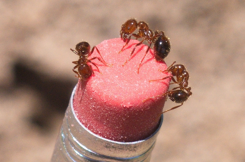 Imported Fire Ants: Prolific, protective and venomous.