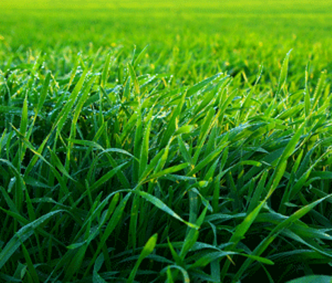 Aerate your lawn to keep it healthy andlush