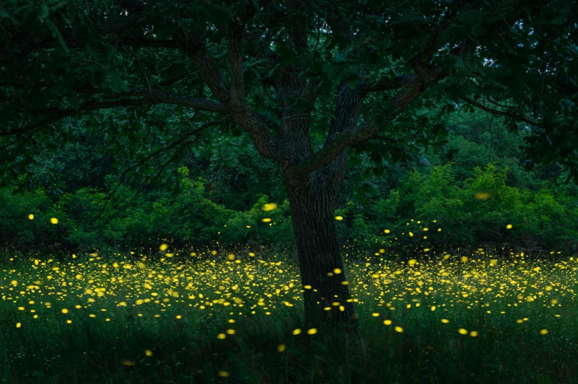 Where have all the fireflies gone?